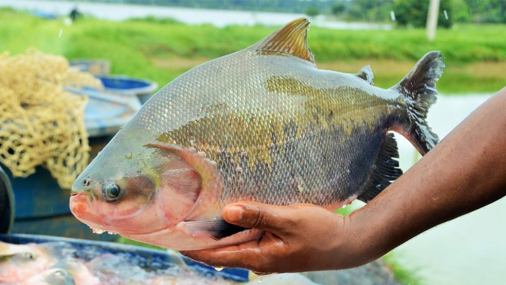 PISCICULTURA: Líder na produção de pescados, Paraná prevê crescimento de 20%
