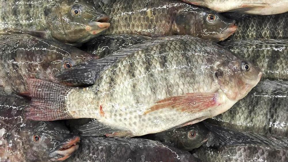 Tilápia leva piscicultura brasileira a R$ 5 bilhões de faturamento